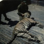 Another shot of the tiger!